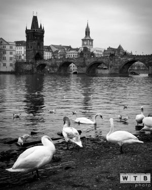 prague charles bridge swans 2015